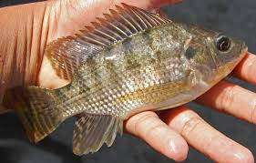 Peluang Bisnis Usaha Budidaya Ikan Nila dengan Analisa Lengkap