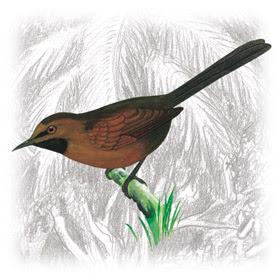 Pássaro João-Teneném-Castanho (Synallaxis rutilans)