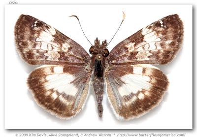 Mariposa emparchada Chiomara asychis