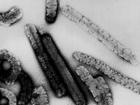 Pengertian Virus Marburg, proses Virus Marburg Menyerang Manusia