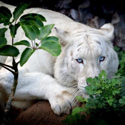 Tigre branco de olhos azuis - uma criação da natureza ou invenção do homem ?