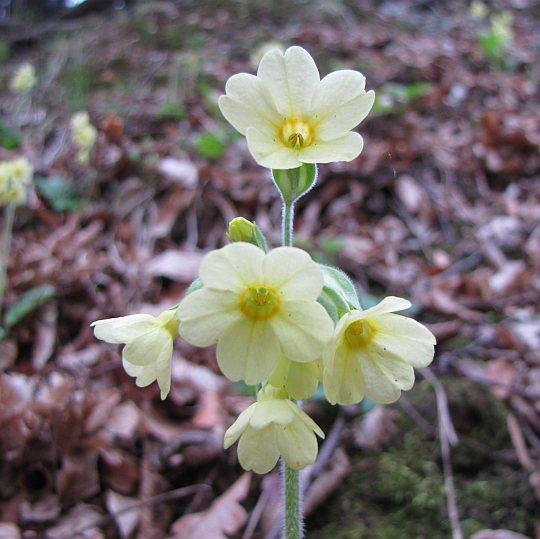 Pierwiosnek (Primula)