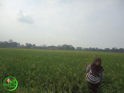 Tanaman padi ketan admin di Bakan Bandung, Pagaden Barat, Subang.