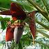 Beneficios para la salud de Flores del plátano