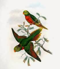 Lori montano: Neopsittacus pullicauda