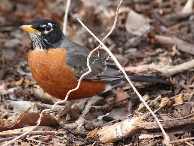 american robin eggs pictures