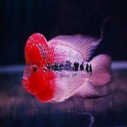 Joe 39 s aquaworld for exotic fishes mumbai india 9833898901 for Flower horn fish price
