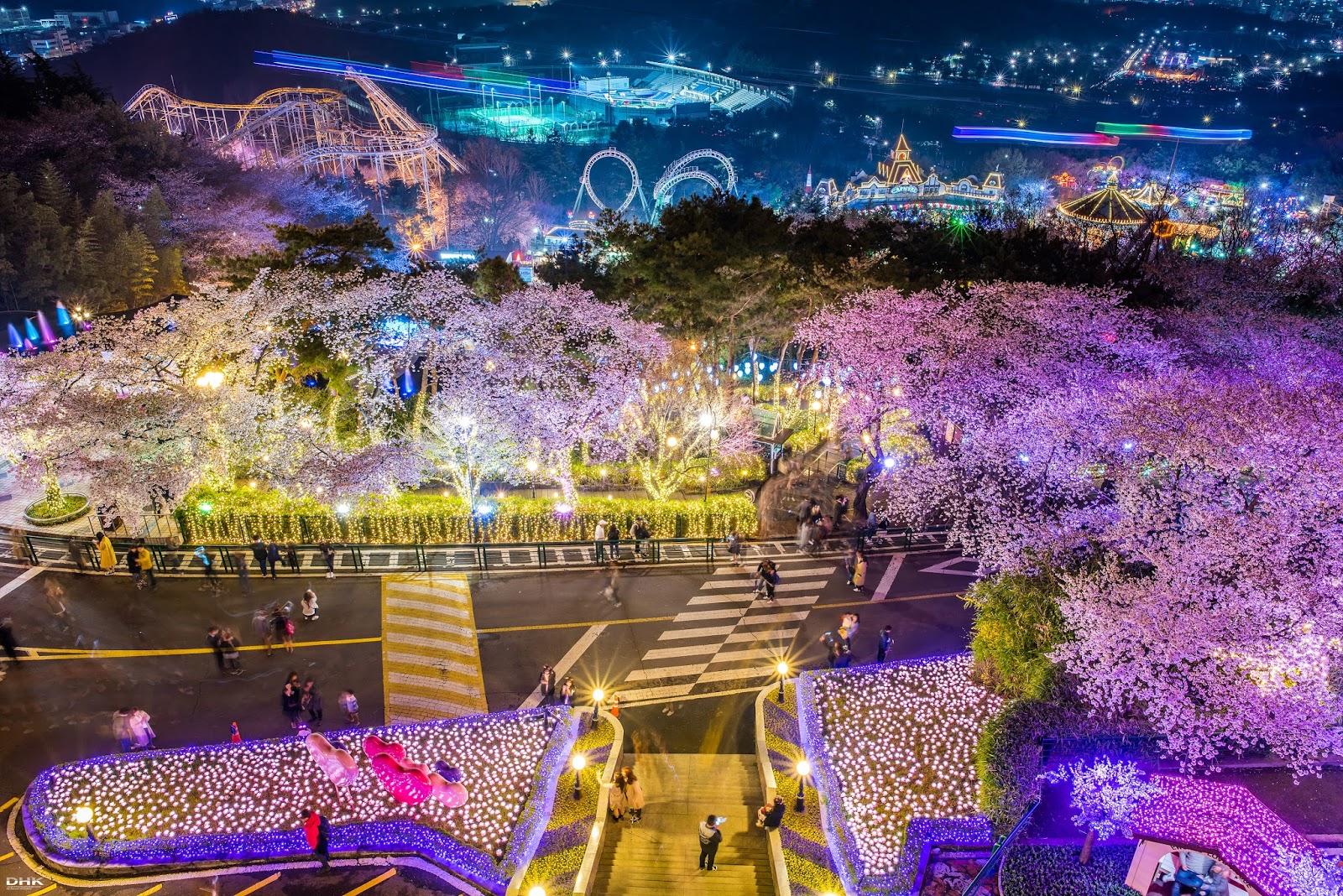 cherry blossom festival 2020 - HD1600×1068