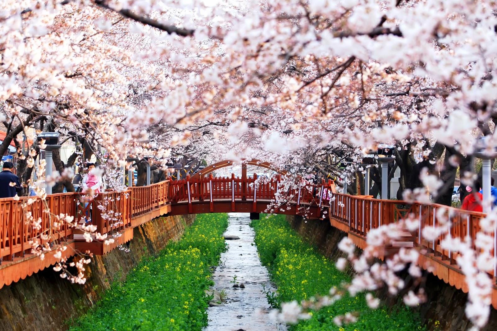 Indahnya Bunga Sakura Di Jinhae Korea Selatan STORYLINE