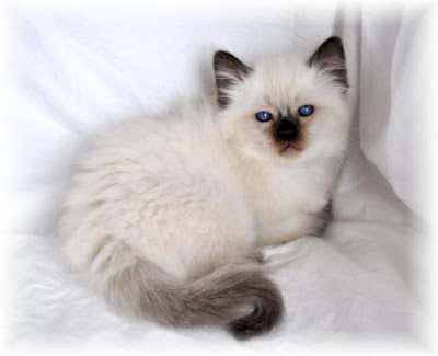 mix-color-canadian-white-cat-images