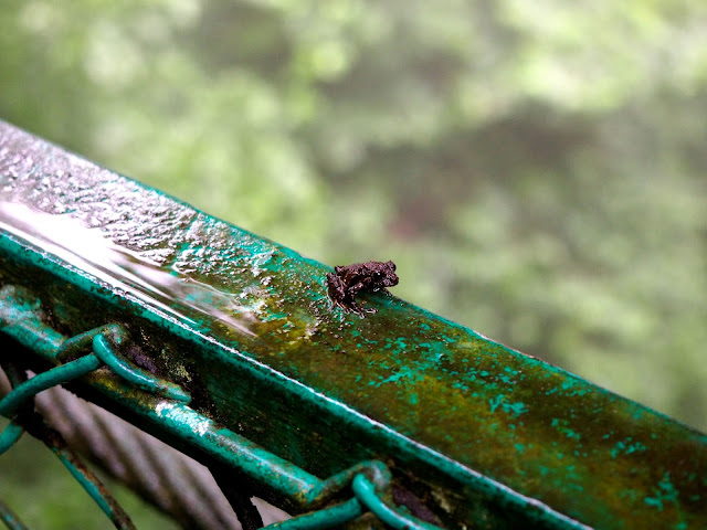 Tiny frog on the hanging bridges in the Cloud Forest, Monteverde, Costa Rica