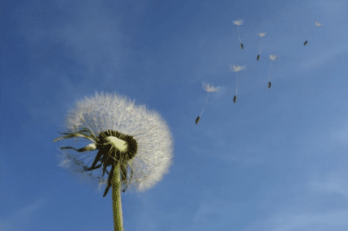 dandelion example rule of thirds