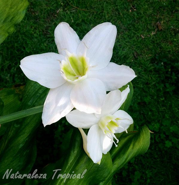 Flor del lirio del Amazonas (Eucharis amazonica)