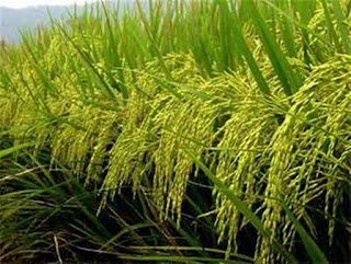 AGRICULTURE RESEARCH FUNDING RICE 2BFARMING