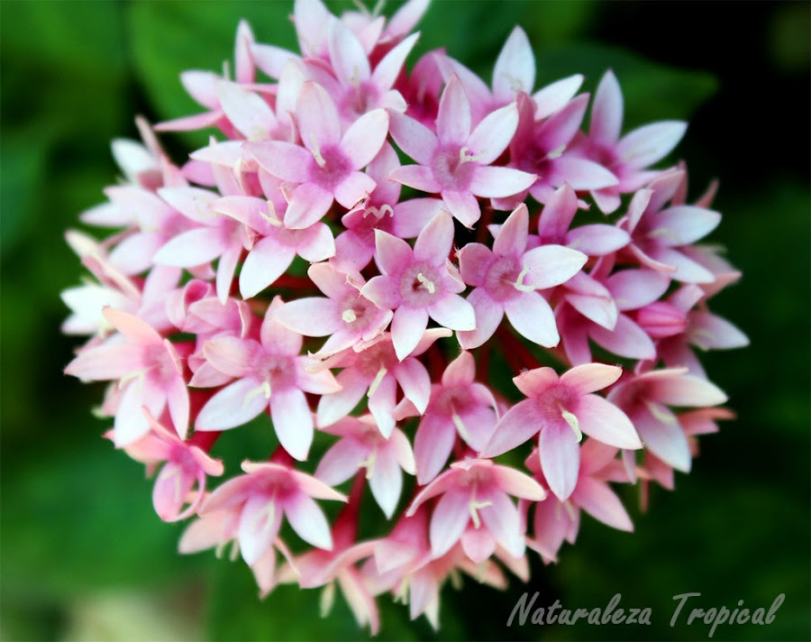 Las flores abundantes de la estrellita de jardín, género Pentas