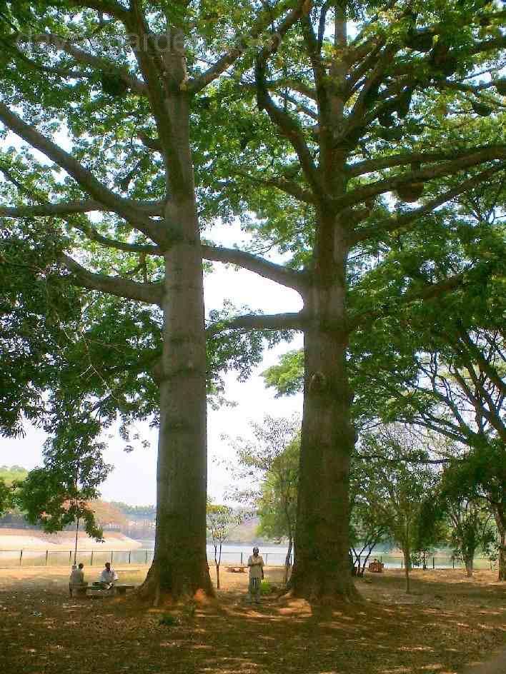 Trees Planet Bombax Ceiba Red Cotton Tree