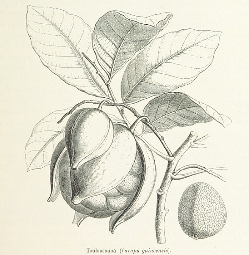 Ébano brasileño Carapa guianensis