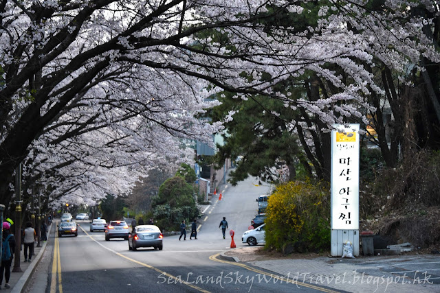 南韓釜山海雲台迎月路櫻花