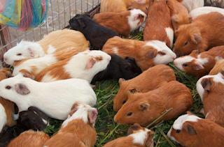 Budidaya Ternak Hamster