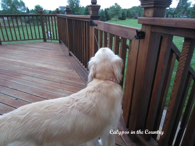 Golden Retriever on deck