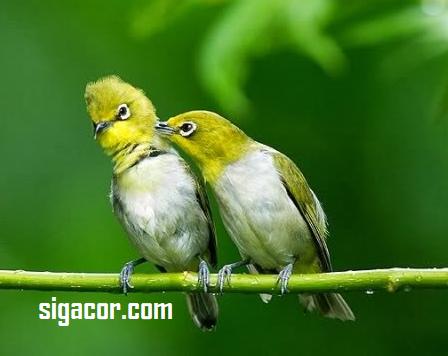 Cara Membedakan Burung Pleci Jantan Dan Betina Dengan Mudah