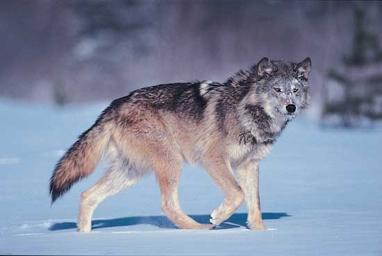 The Wolf Wildlife Interesting Facts & Photos | The Wildlife