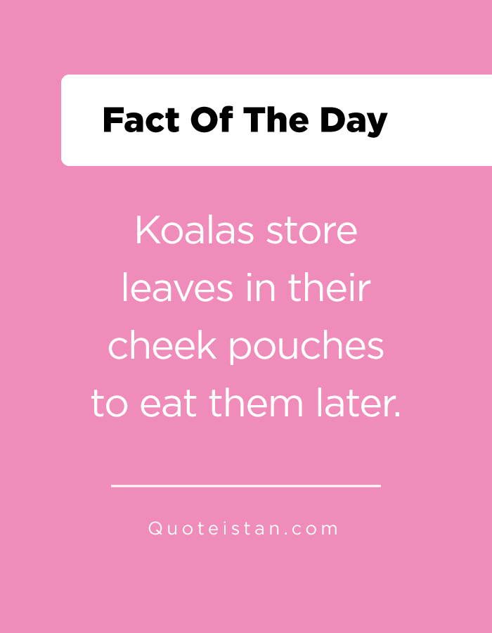 Koalas store leaves in their cheek pouches to eat them later.