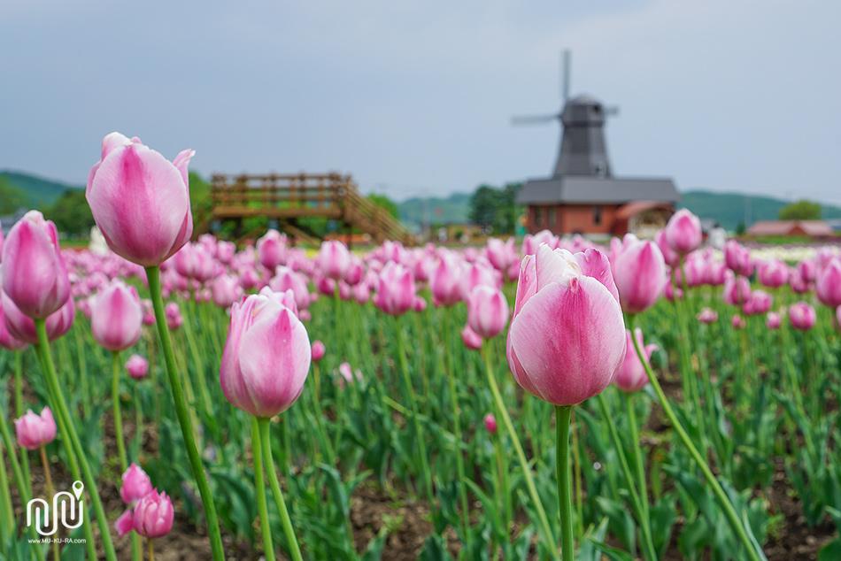 ภาพบรรยากาศรวมๆของ สวนทิวลิป Kamiyubetsu Tulip Park