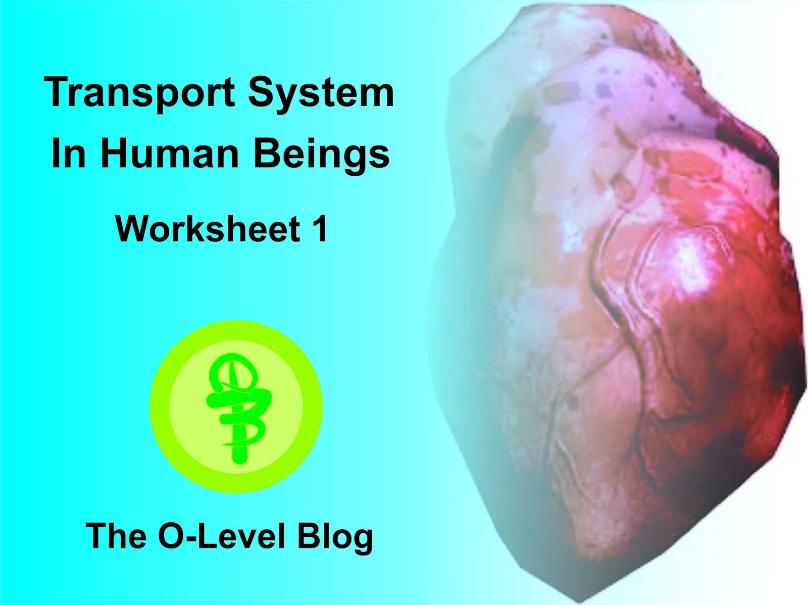 Transport System In Human Beings