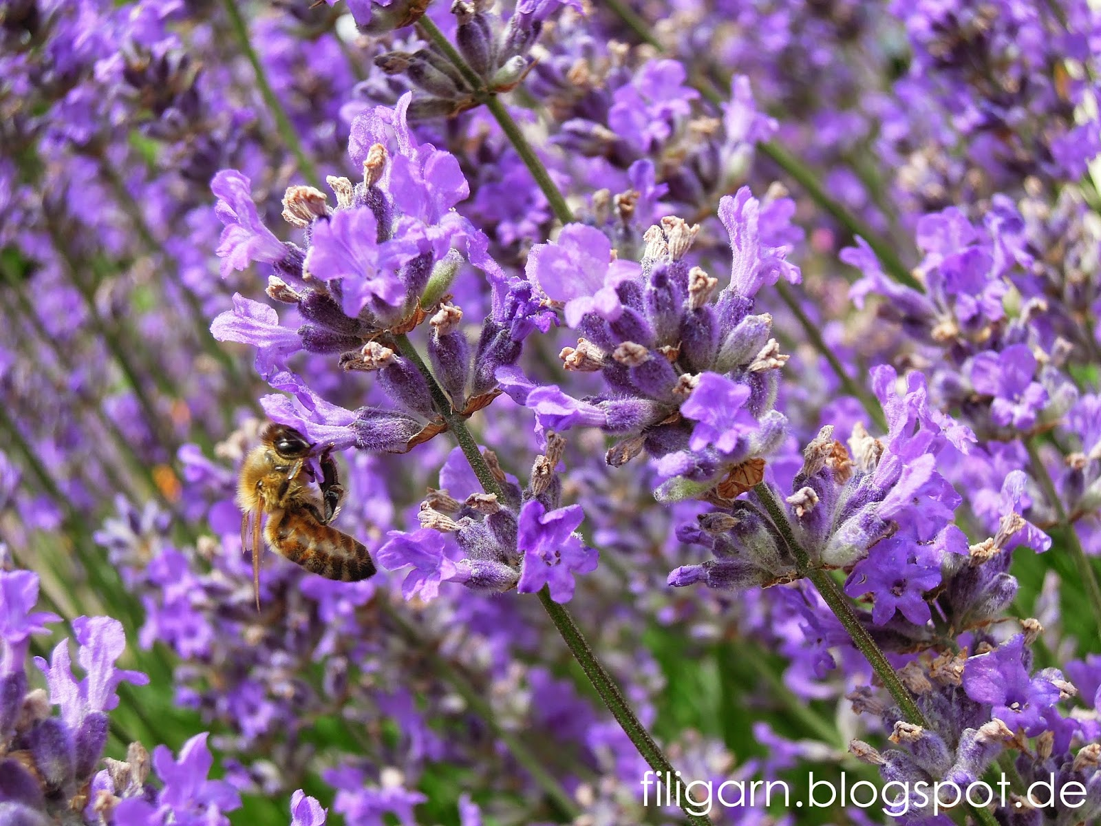 Copyright by filigarn - Bienchen am Lavendel