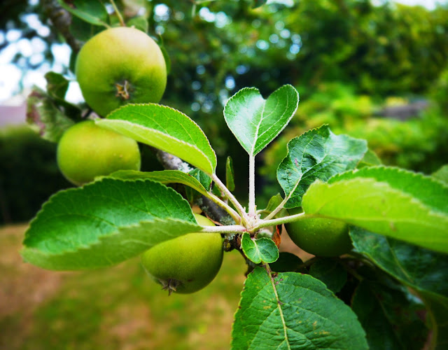 Bramley apple tree