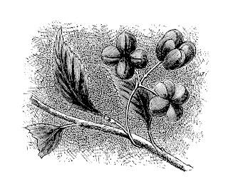 flower image wildflower botanical art vintage