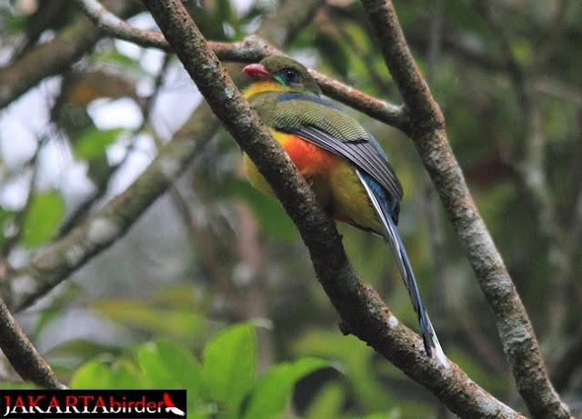 Foto Burung Luntur jawa oleh Khaleb Yordan Mengenal Burung Luntur Jawa