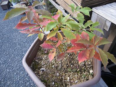 コナラ どんぐり 鉢植え 盆栽 紅葉