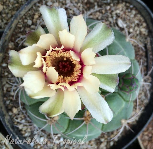 Flor de una especie de cactus, Cactaceae