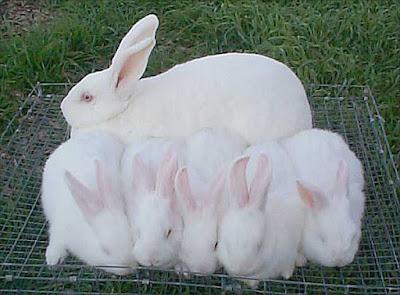 Gambar jenis kelinci new zealand white