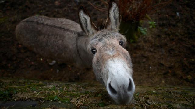 """Decenas de burros son torturados y sacrificados en China para producir una medicina """"milagrosa"""""""