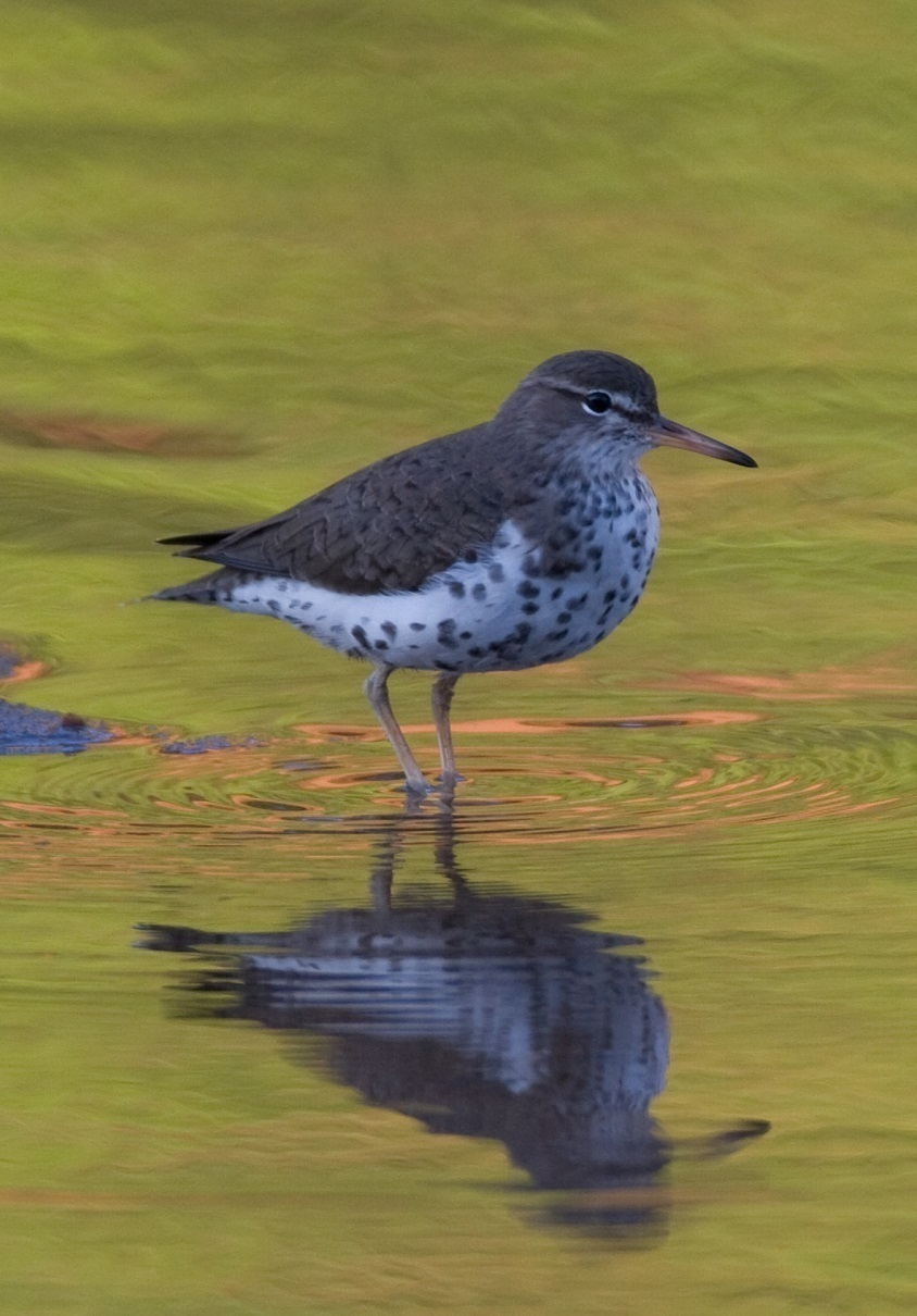 Picture of sandpiper wading through water.