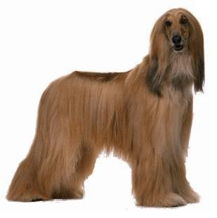 El afgano es el aristócrata de las razas de perros. Él tiene una actitud distante de él.