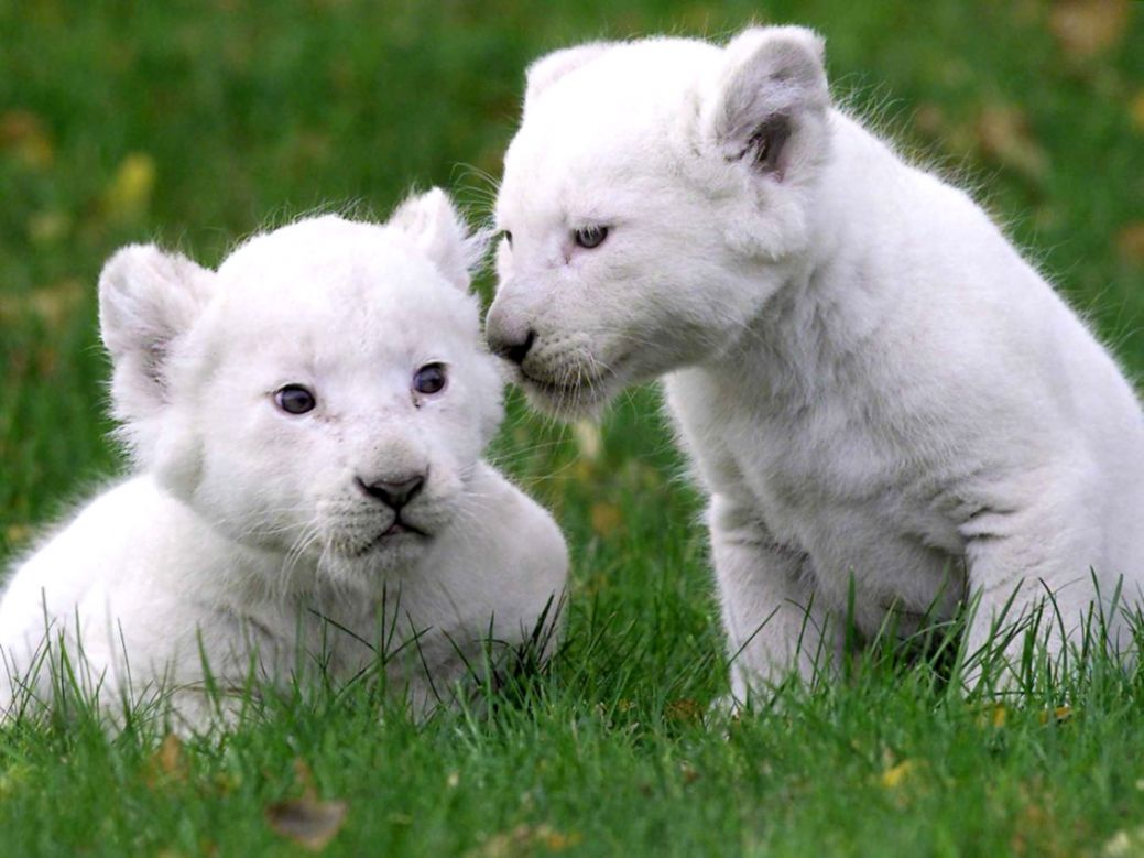 White Lion Cubs Wallpaper Cute Wallpapers