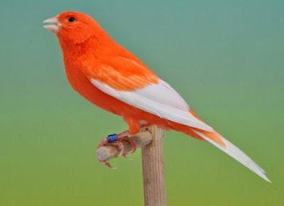 Cara Merawat Anak Burung Kenari