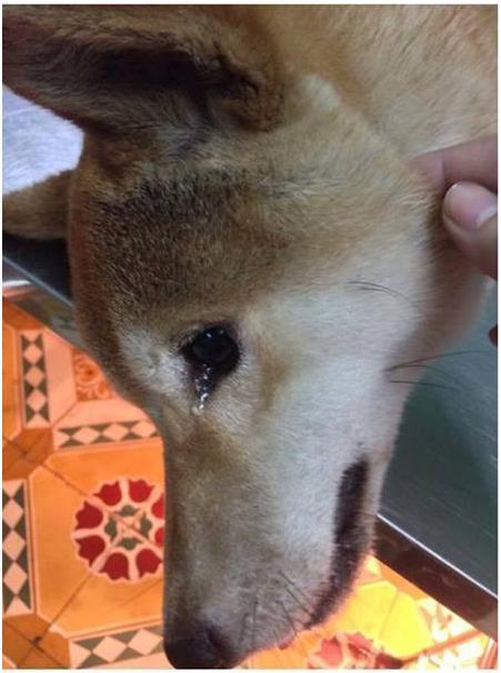 Rớt nước mắt trước hình ảnh một chú chó khóc vì bị cắn nát đuôi