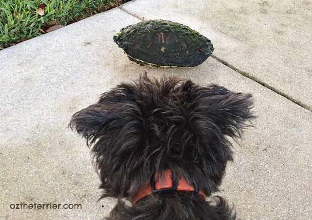 Oz finds Florida Chicken Turtle on his morning walk