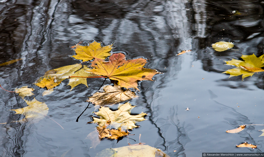 Жёлтые кленовые листья на поверхности воды