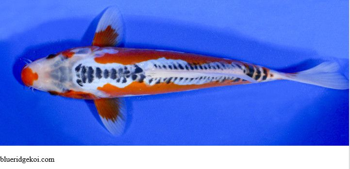 Gambar Ikan Koi Shusui