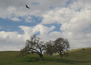 Turkey vulture soaring above oak trees, Morgan Hill, California
