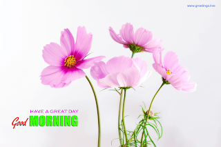 good morning have a great day cosmea flowers