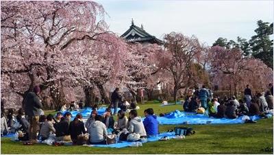 ชมดอกซากุระในเทศกาลฮานามิ