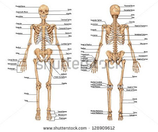 शरीर के अंदर की हड्डिया और उनकी जानकारी