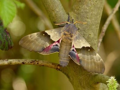 Pachysphinx modesta male